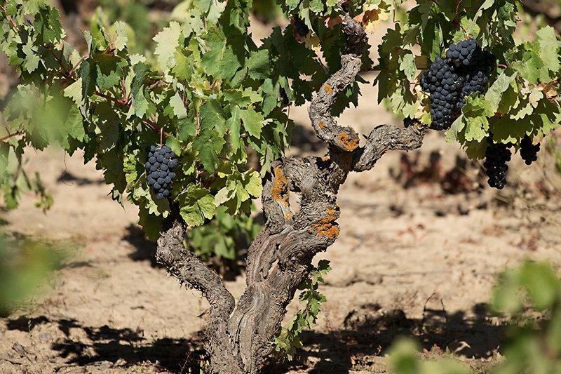 Foto de viña en Rioja Alavésa con uva tinta.