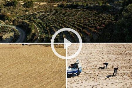 Replantación de viñedo